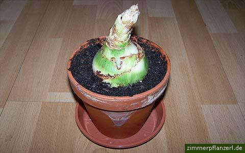 Amaryllis Pflege Nach Verblühen : amaryllis hippeastrum einpflanzen das bl hende zimmerpflanzen blog ~ Watch28wear.com Haus und Dekorationen
