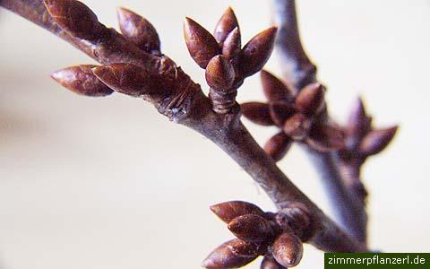 barbarazweige vom kirschbaum